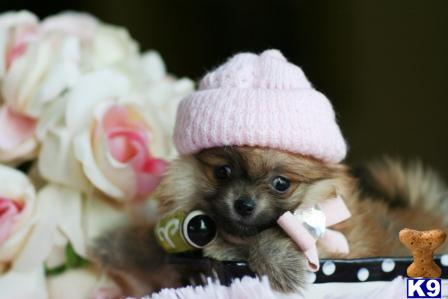 Pomeranian Puppies For Sale Pomeranian Puppies For Sale In West