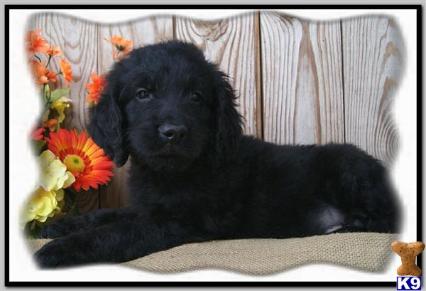 goldendoodle dogs. Goldendoodles Puppies in MO