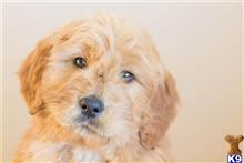 goldendoodles puppy posted by puppy_steps