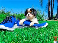 cavalier king charles spaniel puppy posted by puppyavekennel