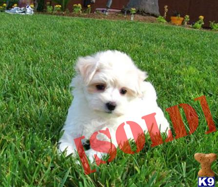 Adorable Female MaltiPoo puppy - Maltese / Toy Poodle - 9 weeks old. A ...