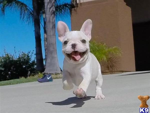 Gorgeous French Bulldog Puppy 4 Sale in San Diego
