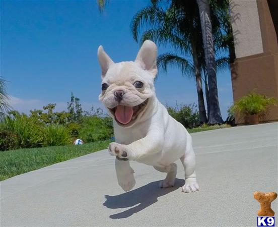 Stunning AKC French Bulldog Puppy for Sale in San Diego