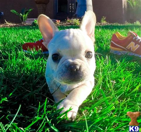 Perfect Female Frenchton Puppy   Dog Breeds Picture