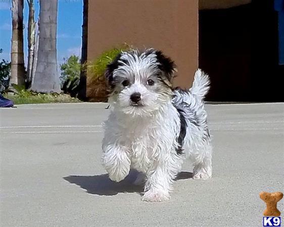 Gorgeous Parti Morkie Designer Puppy 4 Sale - San Diego