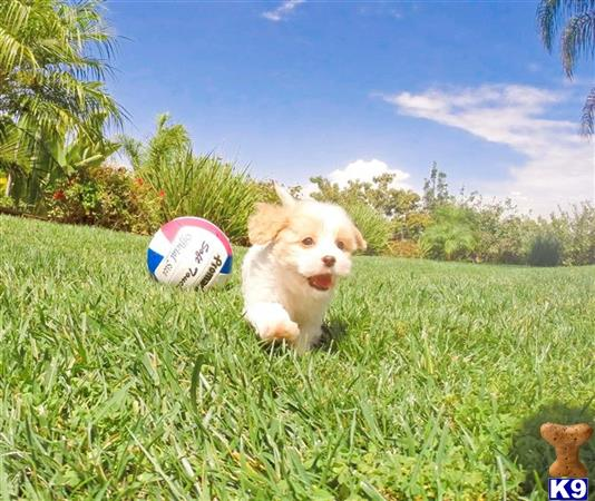 Cava Chon Hybrid Puppy for Sale - So Sweet