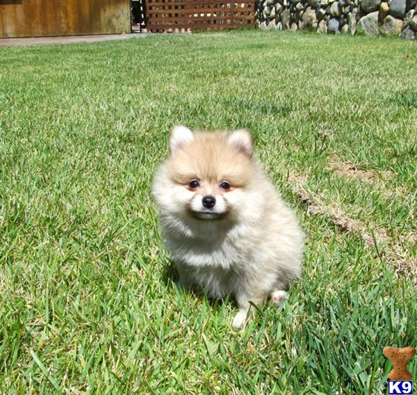 Pomeranian Puppies For Sale 100 Pomeranian Puppies For Sale