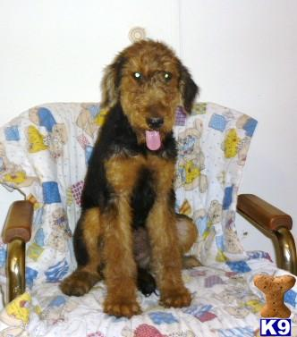 airedale terrier puppies. AIREDALE TERRIER PUPS