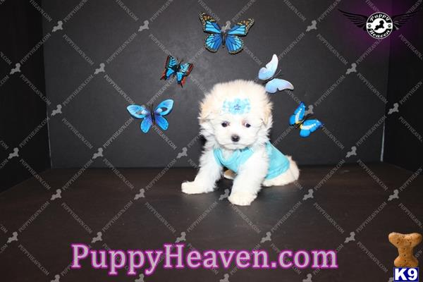 maltese puppy posted by puppyheavenla