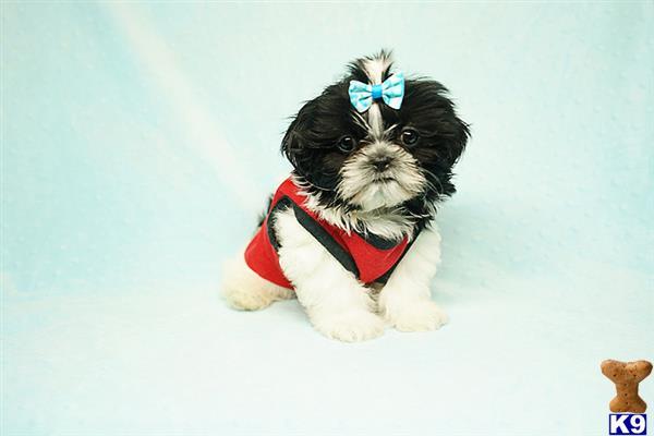 Shih Tzu Puppy For Sale Pua Teacup Shih Tzu Puppy In Los Angeles
