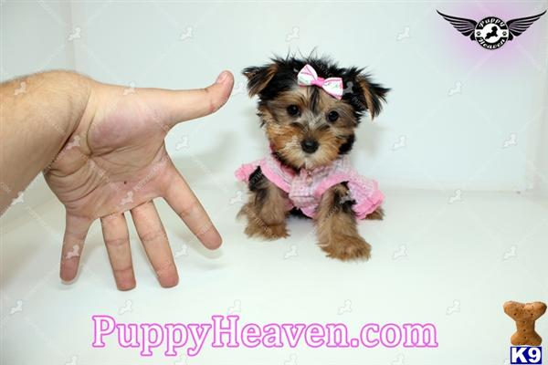 Toy puppies for sale los angeles