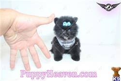 pomeranian puppy posted by puppyheavenla