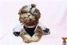 shih tzu puppy posted by puppyheavenla