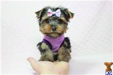 yorkshire terrier puppy posted by puppyheavenla