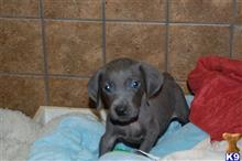 weimaraner puppy posted by puppylove12