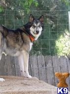 wolf dog puppy posted by purcat209