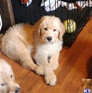 labradoodle puppy posted by quayrida1