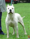 dogo argentino puppy posted by quebracho