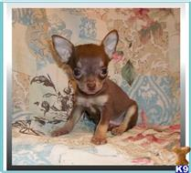 chihuahua puppy posted by rainysmigiel