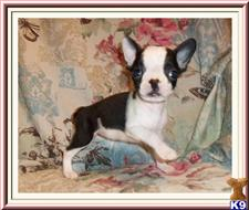 french bulldog puppy posted by rainysmigiel
