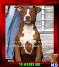 american pit bull puppy posted by raisingcainkennels