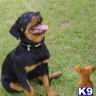 rottweiler puppy posted by ralibel