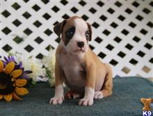 boxer puppy posted by rbowman