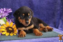 rottweiler puppy posted by rbowman