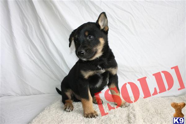 Blue Heeler German Shepherd Mix Puppies William se german shepherd