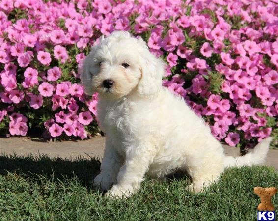 goldendoodles puppy posted by rbowman472