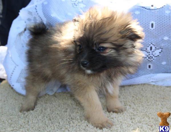 Davy LE PureBred Pomeranian Puppy Ready 8/23