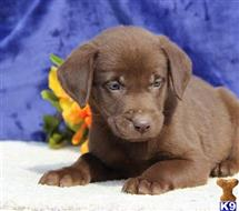 labrador retriever puppy posted by rbowman472