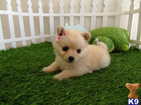 pomeranian puppies for sale in san diego weephiln pomeranian puppies for sale san diego ca 4477