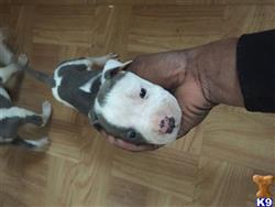 American Pit Bull Puppies for sale in Michigan