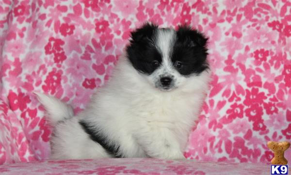 pomeranian puppy posted by realgfp