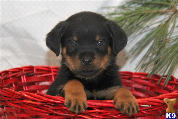rottweiler puppy posted by realgfp