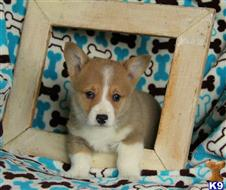 pembroke welsh corgi puppy posted by realgfp