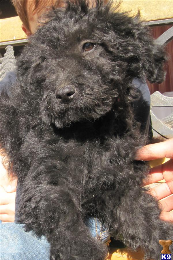 goldendoodle puppies michigan. red goldendoodle puppies for