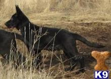 german shepherd puppy posted by redhawkranchlady