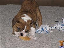 english bulldog puppy posted by relondjason