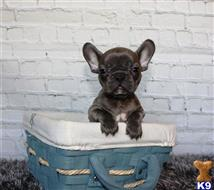 french bulldog puppy posted by rfredregill1