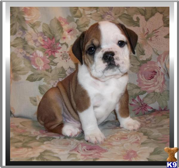 bulldog puppies florida english bulldog puppy for sale in boca raton south 3118