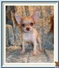 chihuahua puppy posted by richsmigiel