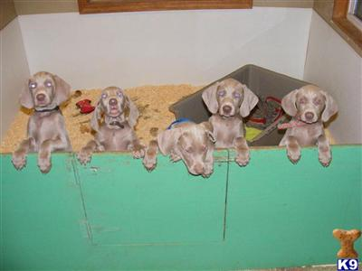 Puppies in IA