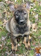 german shepherd puppy posted by rmbrock