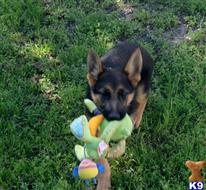 german shepherd puppy posted by rockinnjkennels