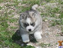 siberian husky puppy posted by rockinnjkennels