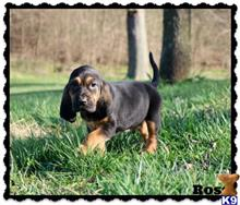 bloodhound puppy posted by rockyhillkennel