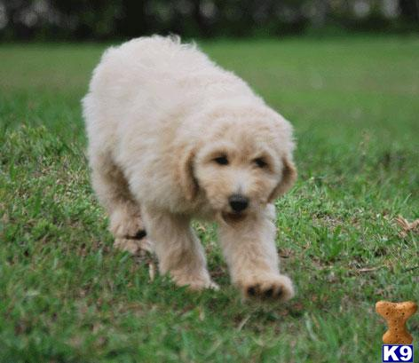 labradoodle puppies for sale. Labradoodle Puppies in FL