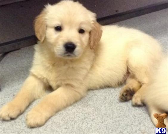 K 9 Golden Retriever Golden Retriever Puppy...